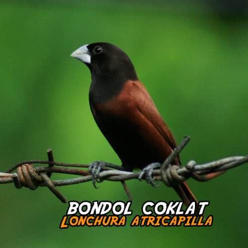 Super Cantik 25 Jenis Finch Asli Indonesia Gaco Gacor