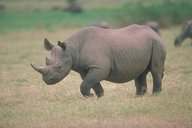 black rhinoceros animal wildlife