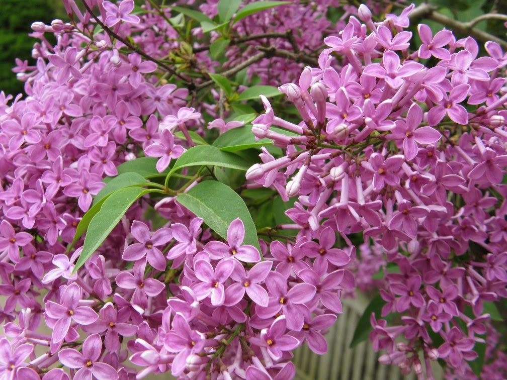 Royal Botanical Gardens purple lilac syringa vulgaris by garden muses-not another Toronto gardening blog