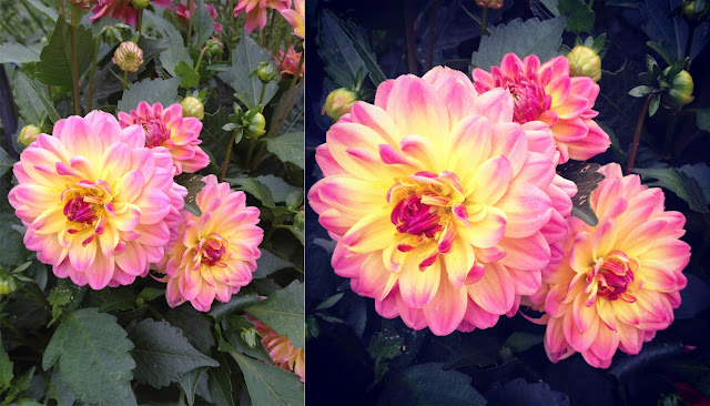 pink and yellow dahlia