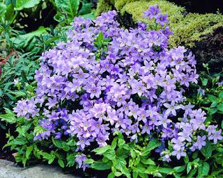 Цветок женского имени Валерия колокольчик