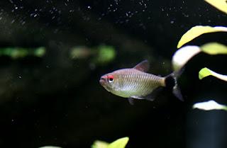 Red Eye Jenis Ikan Tetra Terpopuler