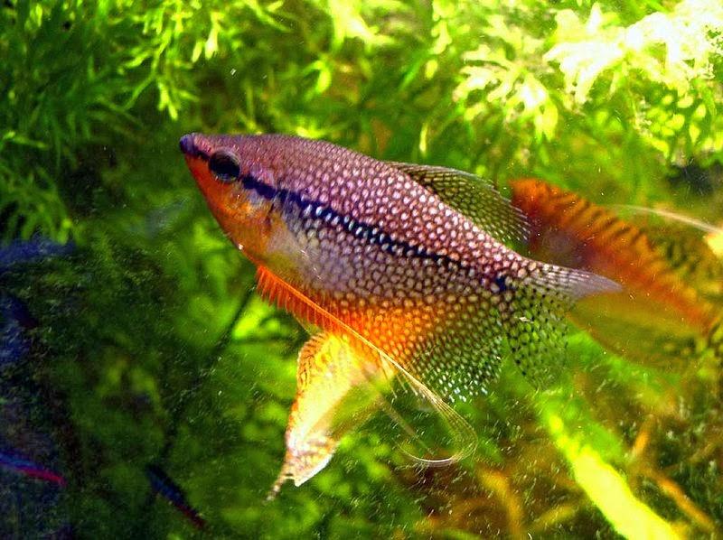 Akvaryum balıkları inci gurami hakkında bilgi