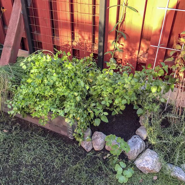 gräslök, persilja, odlingsbox, citronmeliss