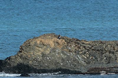 オオワシ ≪Steller's Sea Eagle≫