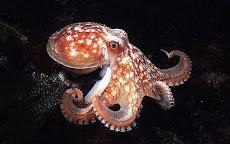 18 Fakta Menarik Mengenai Octopus, Si Gurita