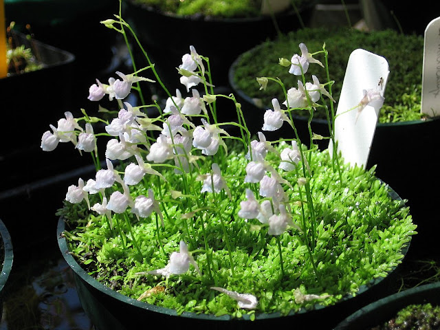 Utricularia