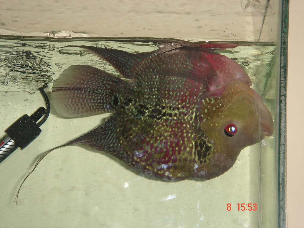flowerhorn tips: flowerhorn diseases and cure - swim bladder