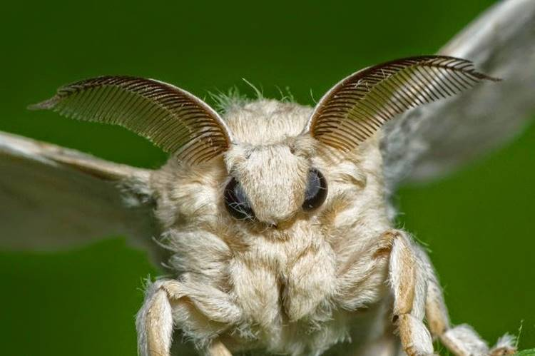 The Venezuelan poodle moth, or moth poodle, is in fact something fantastic, strange and charming, because the butterfly simultaneously delights