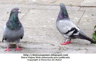Palomas de color gris. Foto de palomas tomada por Jesus Gómez