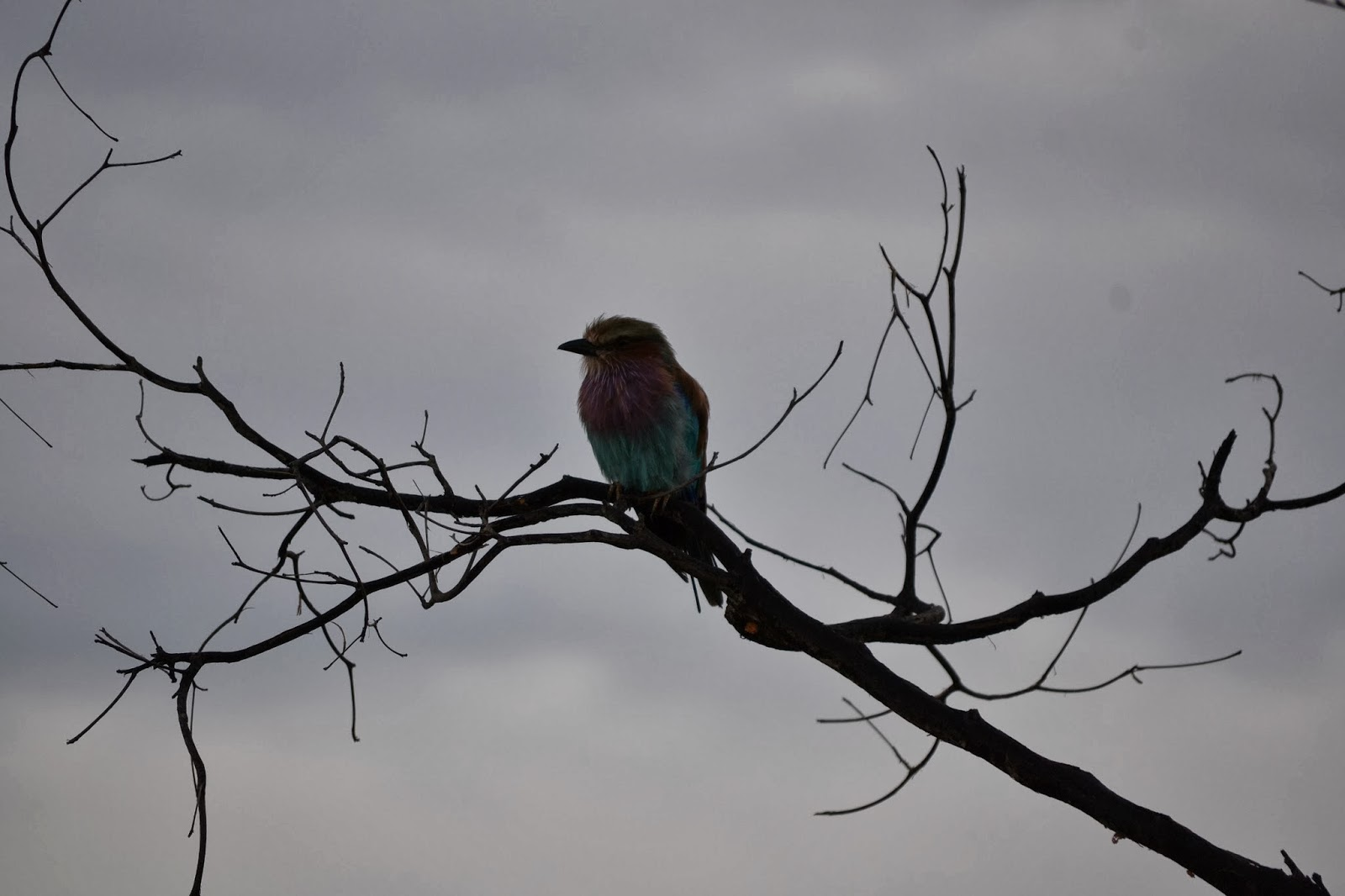 lilac breasted roller against a cloudy sky