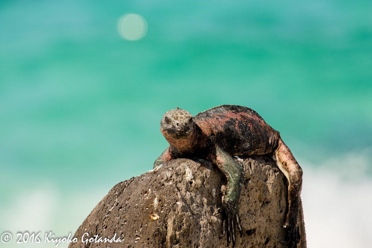 the galapagos islands essay Galapagos islands essayshistory, environment and description: located in one of the most active volcanic regions on earth, the galapagos are located on the nazca.