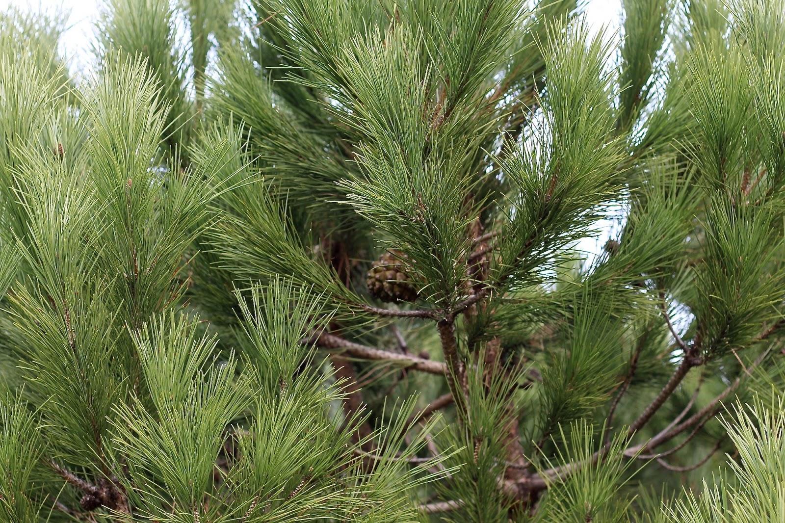 winter pine cone portugal