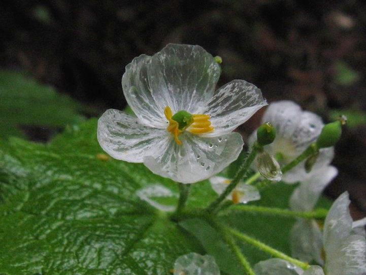 79 Diphylleia grayi, Bunga Ini Akan Berubah Transparan Jika Terkena Air