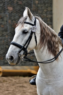 White horse with a rider, wearing a bridle with a show number waiting for a dressage show.
