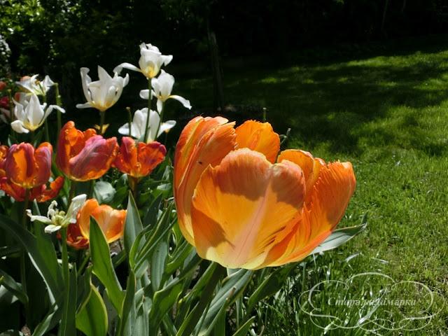 тюльпан Rarrot King, тюльпаны, сад, цветник, тюльпаны в саду, сорта тюльпанов, фото тюльпанов