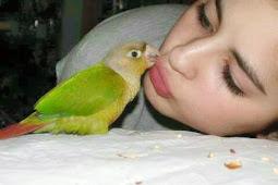 Settingan Koloni Untuk Lovebird Dewasa Agar Birahi Stabil