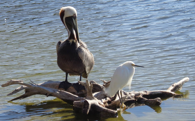Brown pelican and snowy egret on driftwood