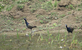 Bronze-winged Jacanas
