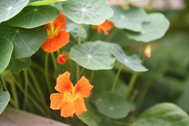 Orange nasturtium flowers in a garden
