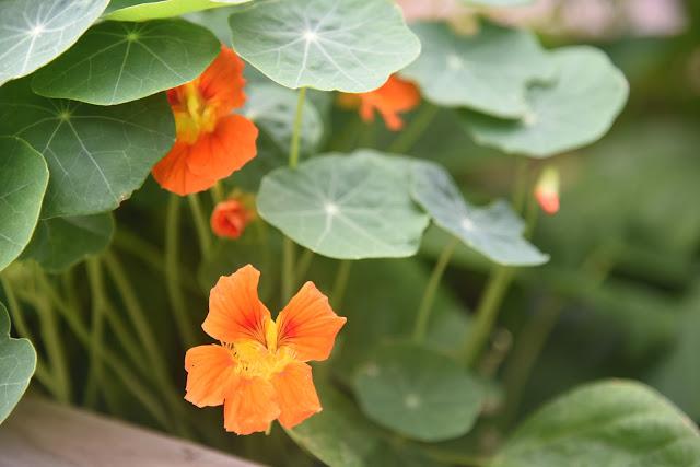 Orange nasturtium flowers in a garden