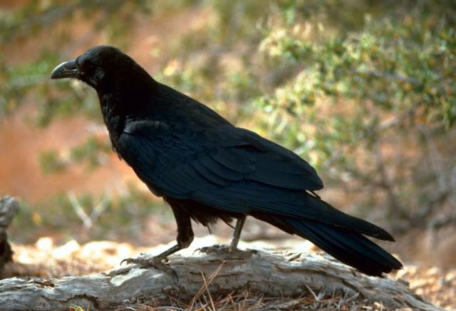 Mempunyai Aura Tubuh yang Mistis, Benarkah Burung Gagak Pertanda Kematian?