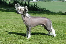 Chinese Crested dog in dark skin hairless