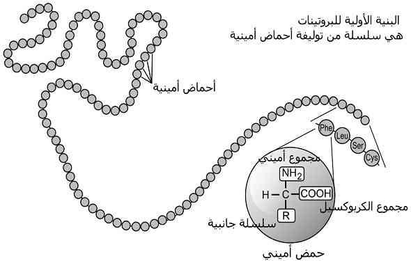 What-is-Protein-and-Amino-acid-Definition-ما-هو-تعريف-البروتينات-و-الاحماض-الامينية