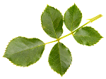 Flower_Leaf_2.png