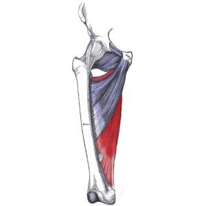 adductor magnus muscle, action, muscle picture
