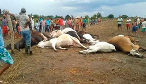 Resultado de imagem para gado morrendo no agreste de pernambuco