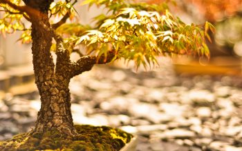 Wallpaper: Natural tilt shift with bonsai trees