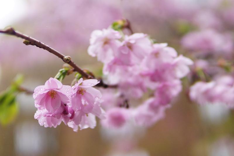 kukkiva puu, kevät, toukokuuu