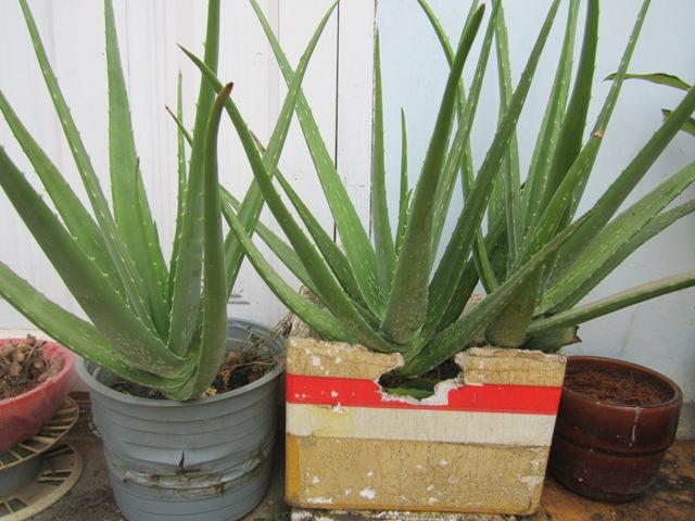 Cách trồng Nha Đam & Trồng nha đam trong thùng xốp