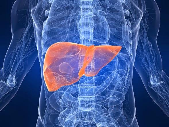 Human Liver position