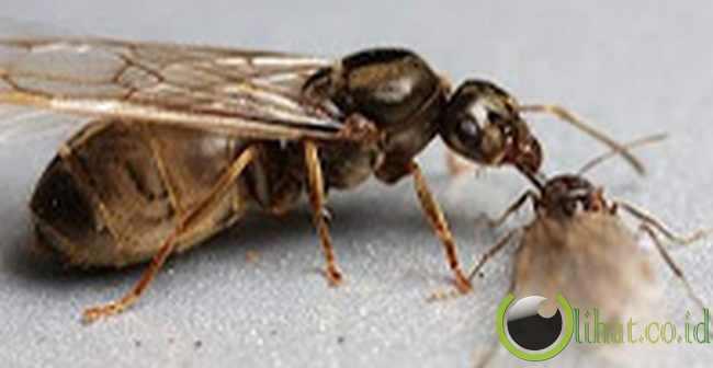 Mayflies alias lalat capung