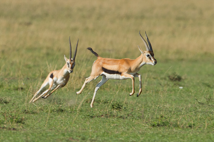 gazelle running from lion - photo #36