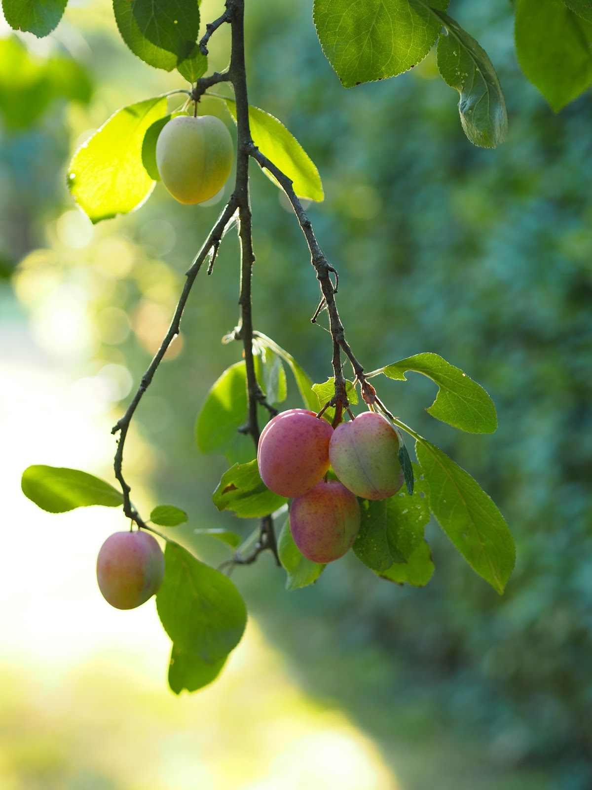Ripe Plums on the Tree