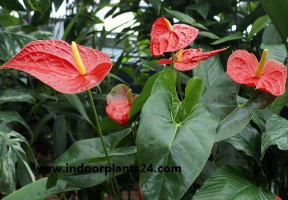 Flamingo Flower indoor Plant - Anthurium Scherzerianum photo