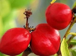 cara mengolah buah mahkota dewa dan manfaatnya,kumpulan manfaat buah mahkota dewa,cara mengolah buah mahkota dewa sebagai obat,cara mengolah buah mahkota dewa bagi kesehatan,