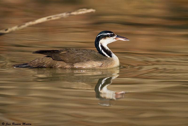 aves argentinas Ipequi Heliornis fulica