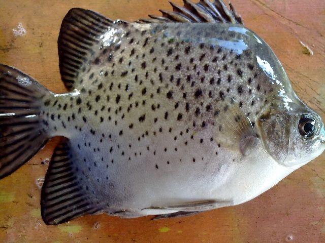 Makanan Ikan Titang