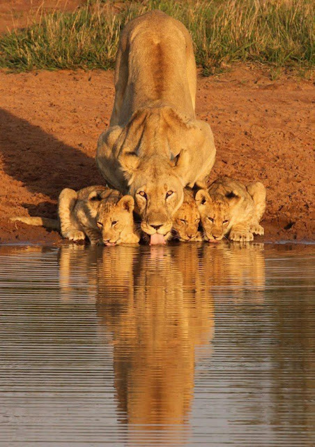 Lion and her Cubs