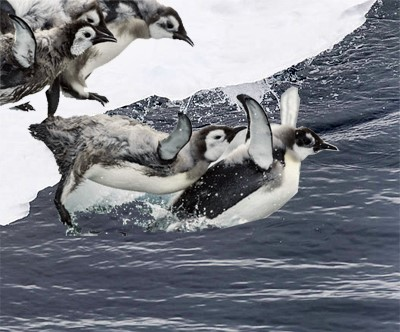 the very first jump of young emperor penguins into the water