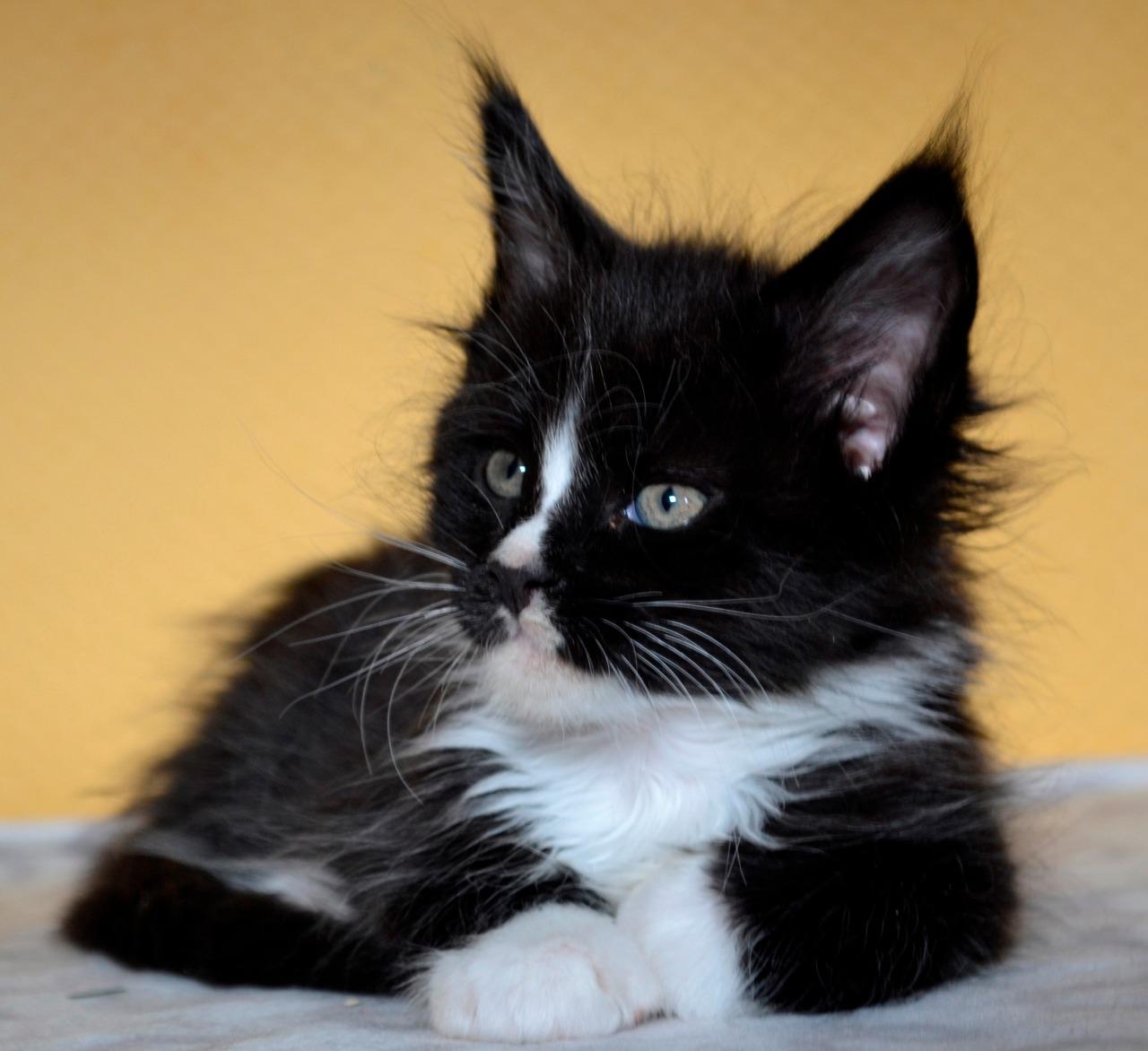Oholil kočička vid