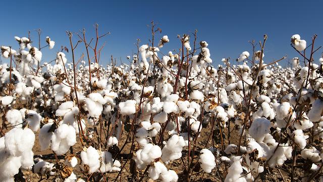 Per produrre una T-Shirt in cotone sono necessari 2.700 litri d'acqua