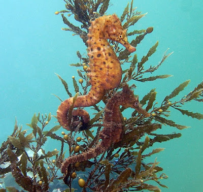Seahorse Facts For Kids | An Antique of Marine Life