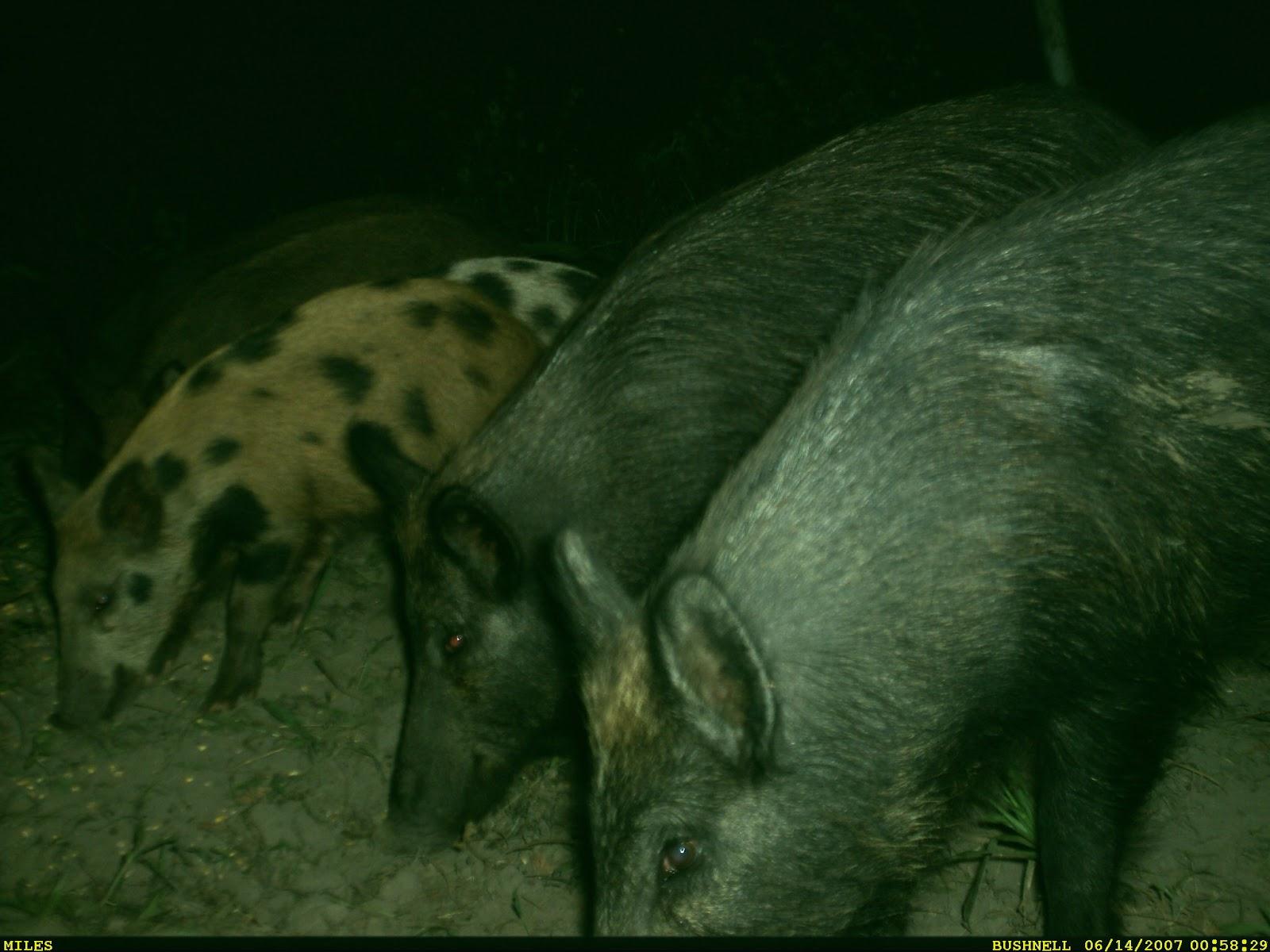On the Origin of (the Wild Pig) Species | Wild Wonderings