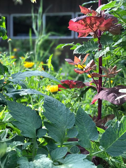rote Melde und Ringelblumen im Tomatenbeet (c) by Joachim Wenk