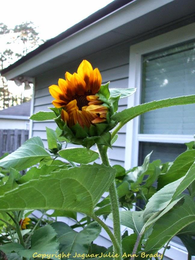 First Autumn Beauty Sunflower as a Bud Opening